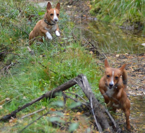 09/19 Koirat: psk: Lill Jägarens Lucky ja Lill Jägarens Rudolf kuva © Minna Kaarijärvi