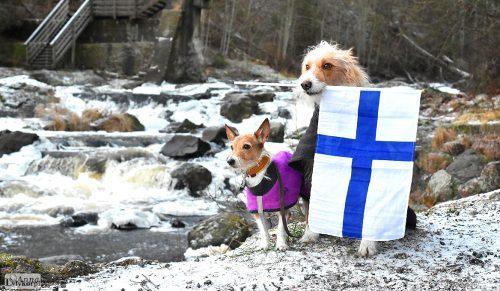 Koirat: pkk: Hirsituvan Syysmyrsky kkk: Stagedog Pisteiro Adriano kuva © Anna Lylykorpi