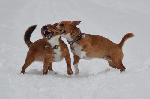 02/19 Koirat: psk: Lill Jägarens Lucky ja Lill Jägarens Rudolf kuva © Minna Kaarijärvi