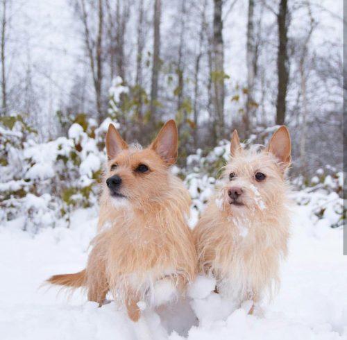 03/19  Koirat: Hirsituvan Kulkuri ja Hirsituvan Aarnituli ©: Iida Mäkelä